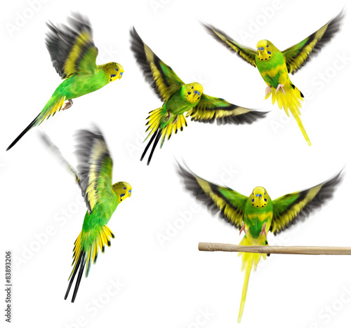 Carta da parati Budgerigar. Parrot. Collection.
