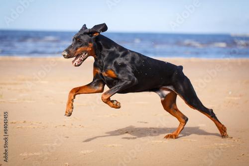 Fotografija Doberman Pinscher dog in nature