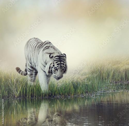 Obraz na plátně Bílý tygr