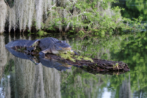 Alligator dans les Bayous de Louisiane
