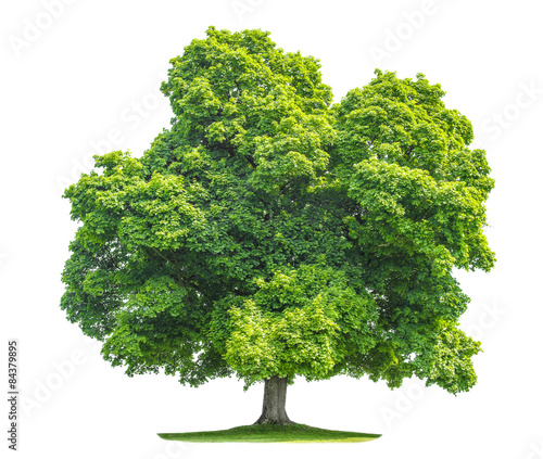 Green maple tree isolated on white background