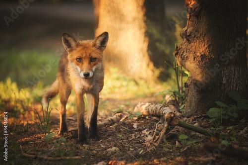 Fototapeta Fox na letní lesa