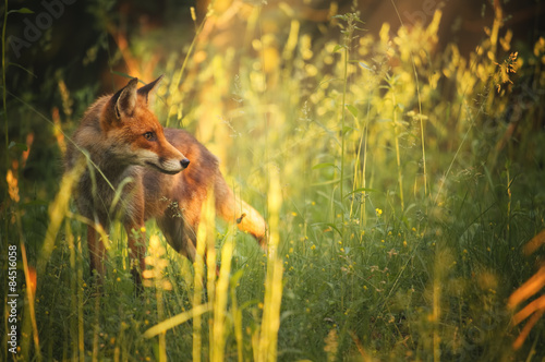 Canvas Print Fox on the summer forest