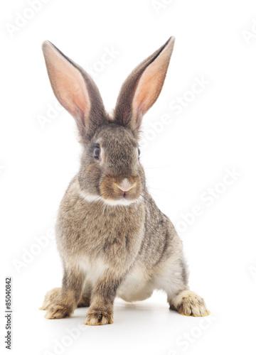 Obraz na plátne Brown rabbit.