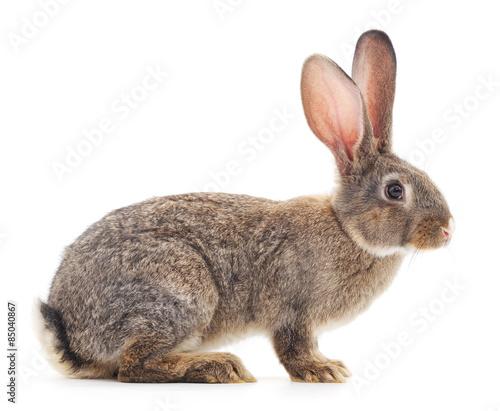 Fotografia, Obraz Brown rabbit.