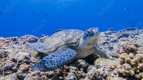 Green turtle staying #85097065