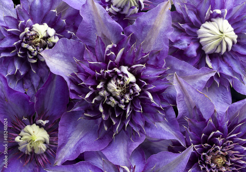 Purple Clematis flowers background