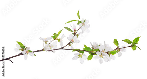 cherry tree blossoming branch with bright green leaves
