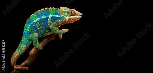 Blue Bar Panther Chameleon isolated on black background