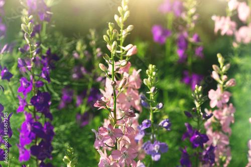 Fotomural gentle pink and purple delphinium flowers