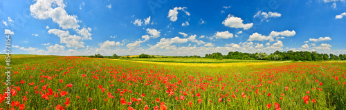 Panorama of poppy field in summer countryside