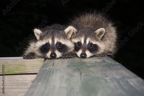 Fotografie, Obraz Tw baby raccoon