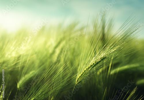 barley field in sunset time Fotobehang
