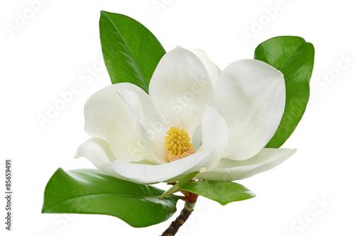 Fototapeta White magnolia