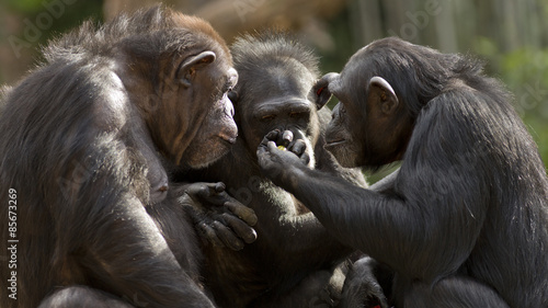Canvas-taulu three chimpanzees having a meeting