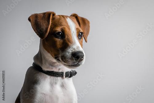 Obraz na płótnie jack russell terrier puppy