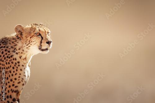 Gepard Porträt Fototapete