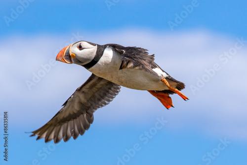 Fotografie, Obraz Atlantic puffin in flight
