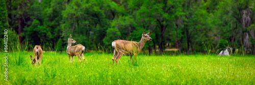 Fototapeta Deers on the green meadow.