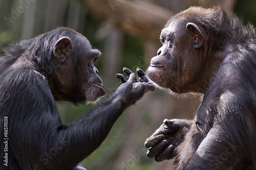 Fotografia chimpanzee checks out the chin of another chimp