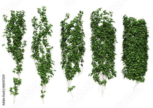 Stampa su Tela ivy ivy leaves isolated on a white background.