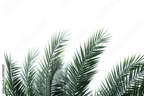 Fotomural Leaves of palm tree isolated on the white background