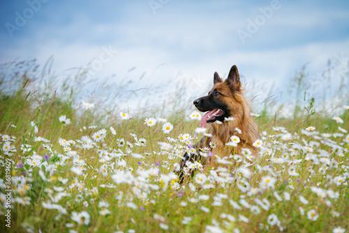 Canvas Print german shepherd dog portrait outdoors