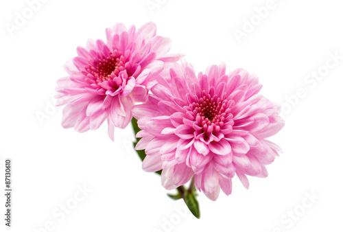 Obraz na plátne chrysanthemum flower