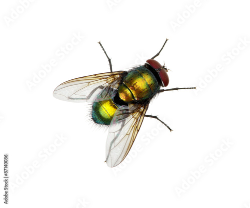 green fly