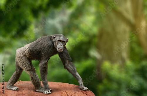 Stampa su Tela Chimpanzee walking