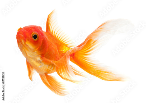 Obraz na plátne Goldfish isolated over white background