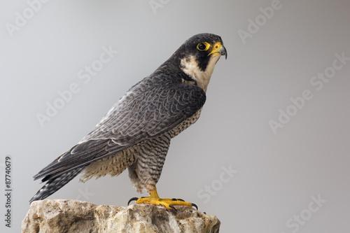 Fototapeta Adult Peregrine Falcon perched on a rock
