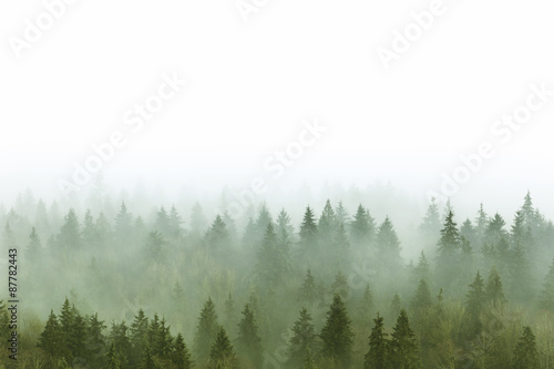 foggy pine forest