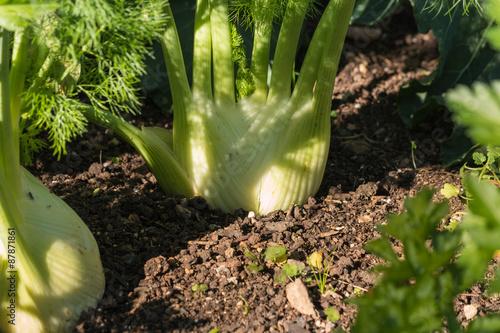closeup of fennel bulbs growing in garden