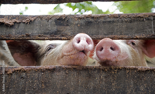 Photo Pigs snouts together