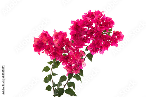 Canvas Print Pink blooming bougainvilleas