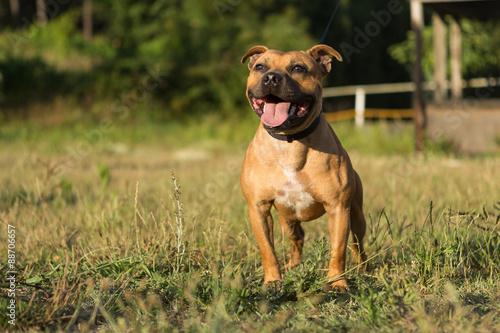 Photo Staffordshire bull terrier