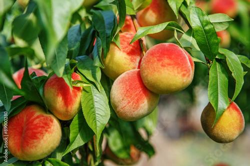 Canvas Print Ripe sweet peach fruits growing on a peach tree branch