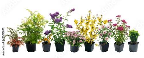 Fotografia Shrubs in containers on a white background