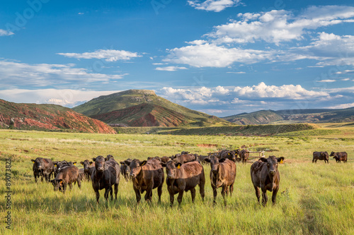 Fotografie, Tablou Open range cattle in Colorado