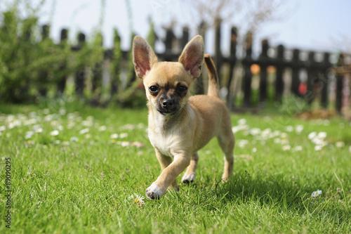 Fotografie, Obraz Chihuahua - welpe - Laufen im Garten