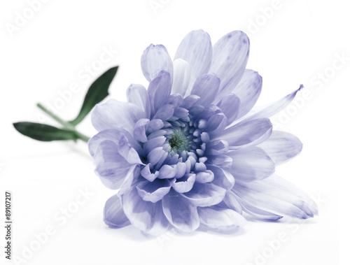 Fotografía blue chrysanthemum flower on white