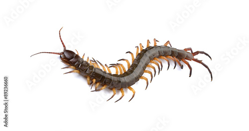 Fotomural closeup of one brown centipede on white background