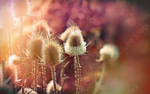 Fotomural Thistle - dry burdock (beautiful nature)