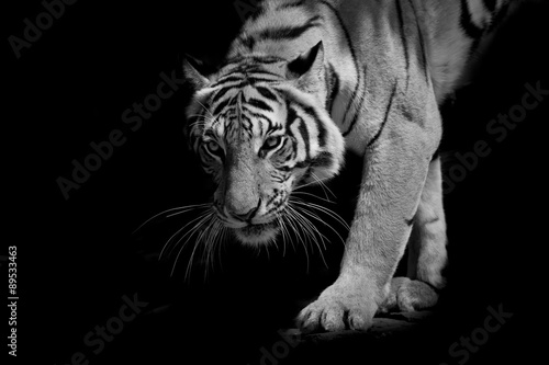 Canvas Print black & white tiger walking step by step isolated on black backg