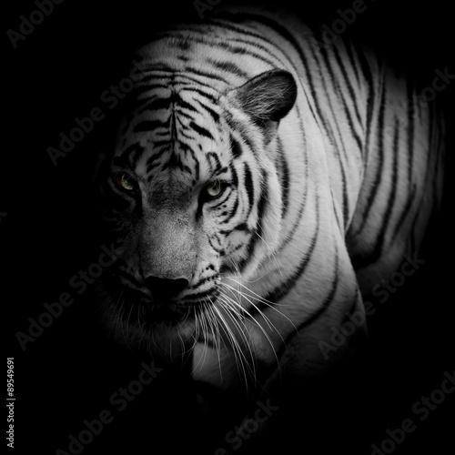 Photo White tiger isolated on black background