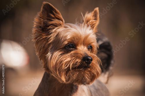 Canvas Print close up Portrait of Yorkshire Terrier dog