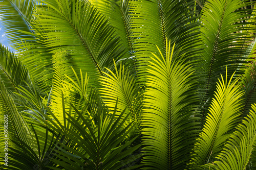sunlit palm tree fronds