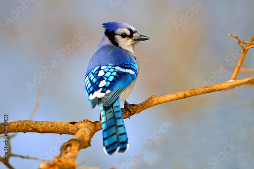 Photo Blue Jay sitting on Branch