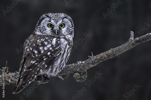 Canvas Print Hunting Boreal Owl, Aegolius funereus